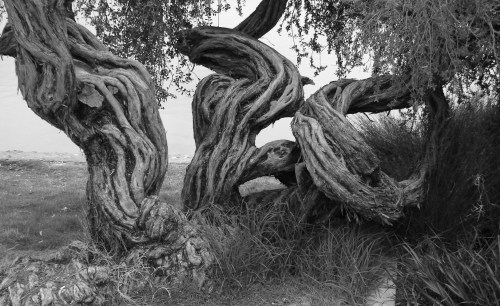 Gnarled Trunks